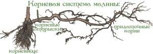 строение-корня-малины
