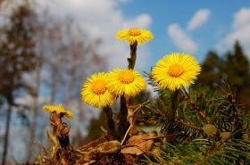 Coltsfoot. Click the image to go to a Russian forum with a (folk?) etymology, medicinal uses, and recipes